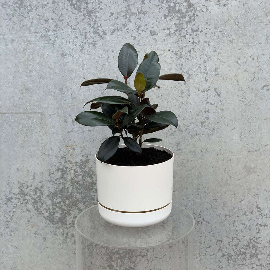Medium burgundy rubber tree in a white pot.