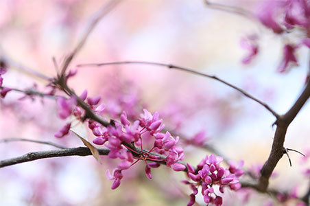 Pink blossoms by Jerred Zegelis