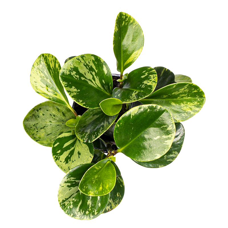 Beginner S Guide To Peperomia Care Baby Rubber Plants