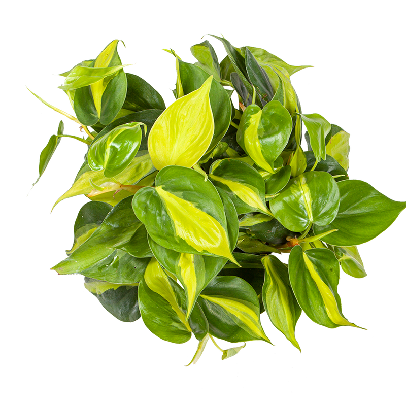 Philodendron  Care