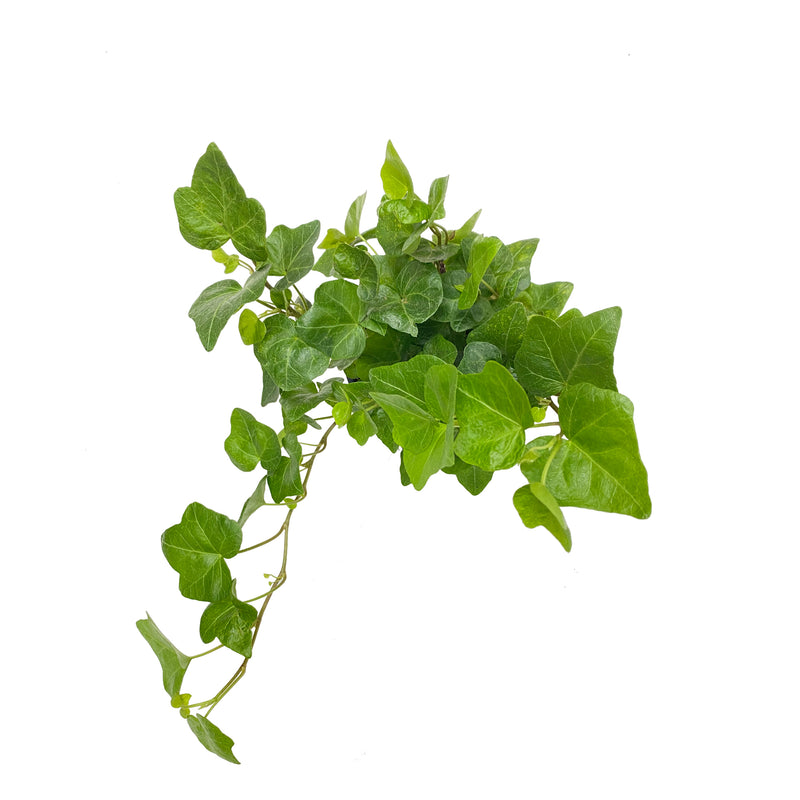 English Ivy Care