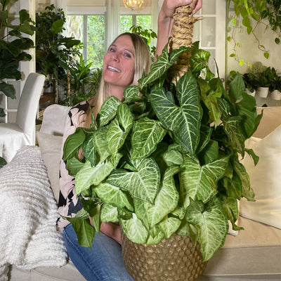 Learn how, why and when to stake Hoya, Philodendron, Pothos and other vining plants.