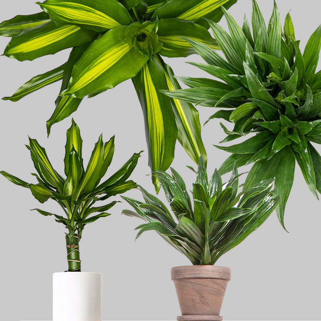Dracaena For Sale