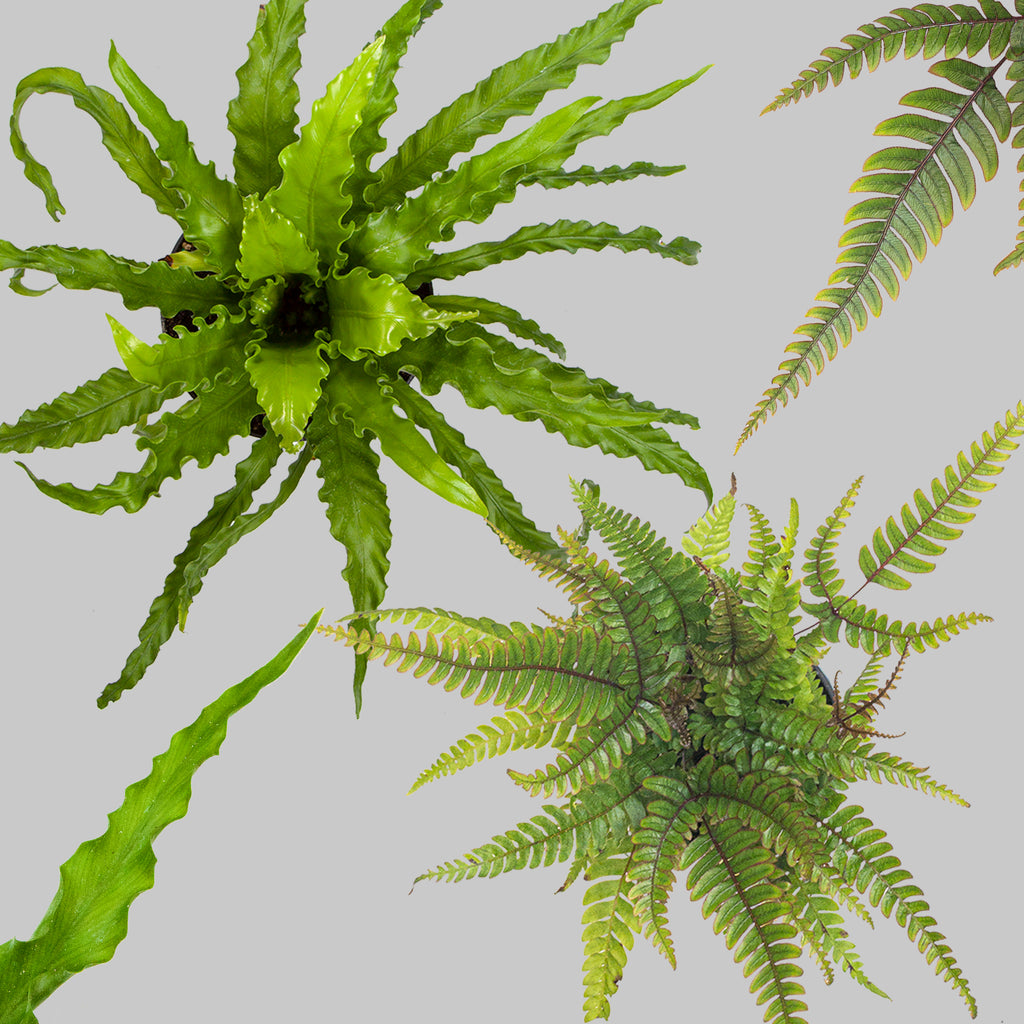 Ferns for sale Indoor Plants