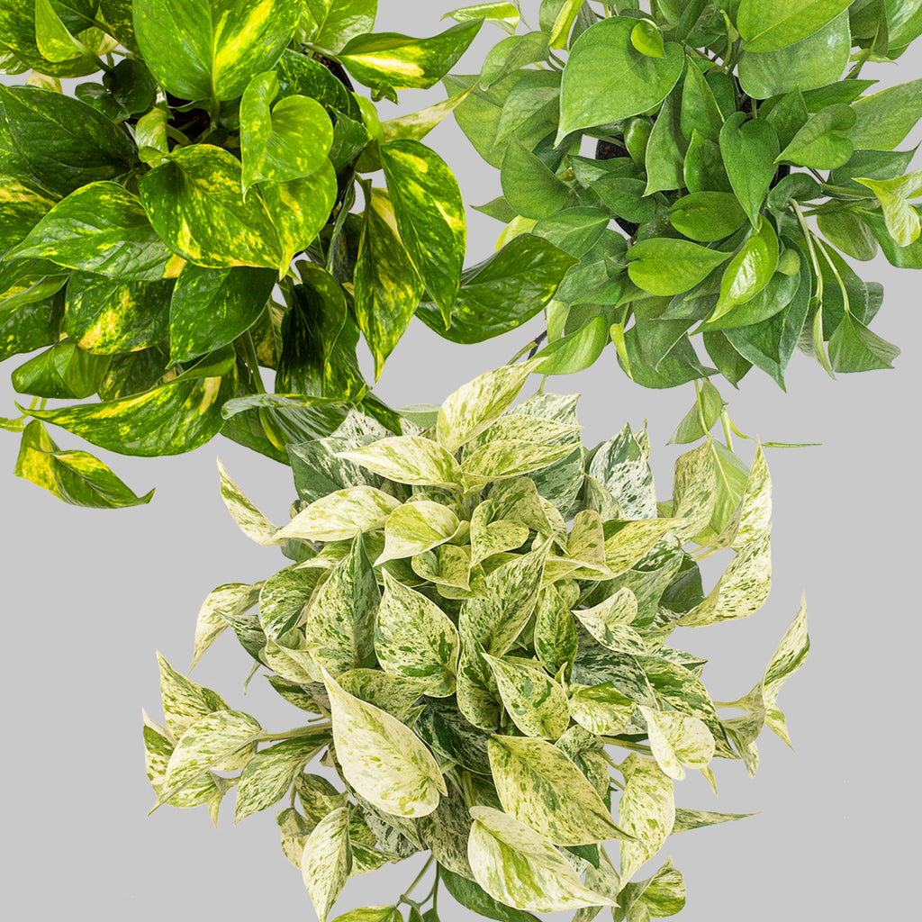 Pothos Indoor Plant For Sale