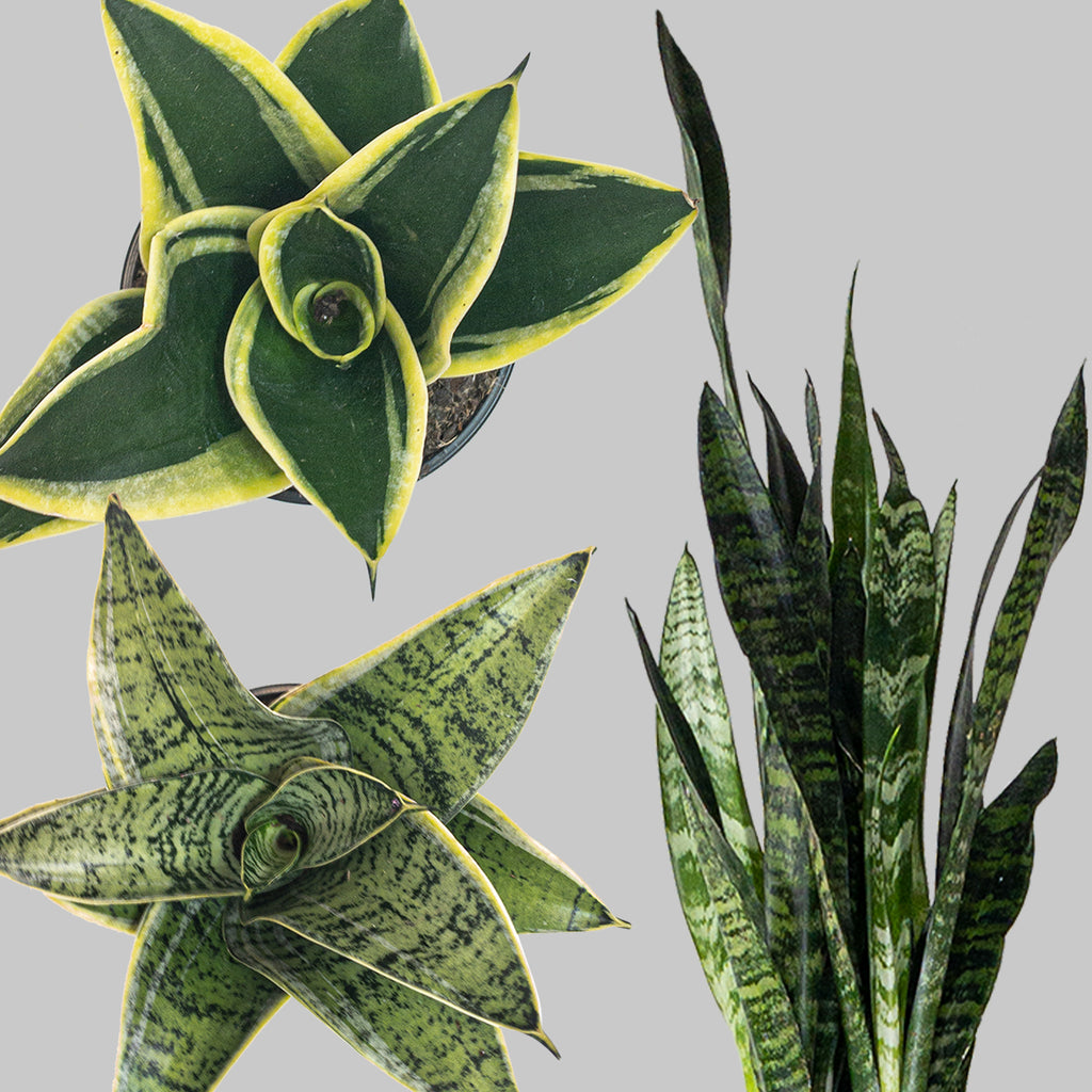 Snake Plant Sansevieria For Sale