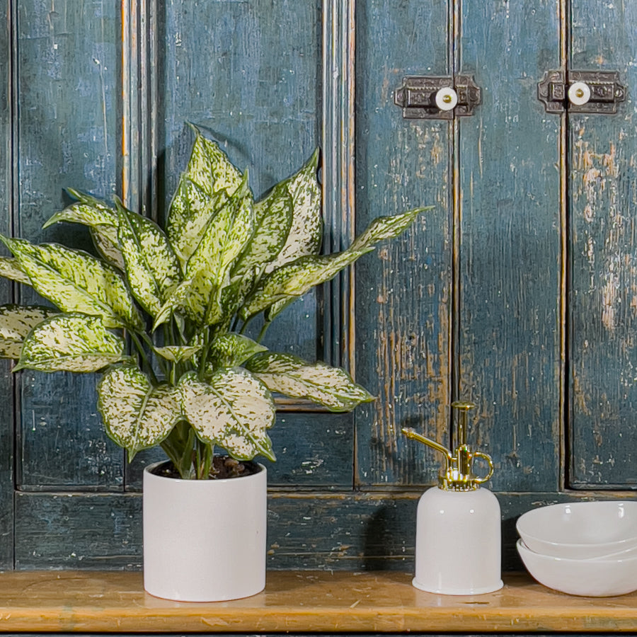 Shop Chinese Evergreen Collection