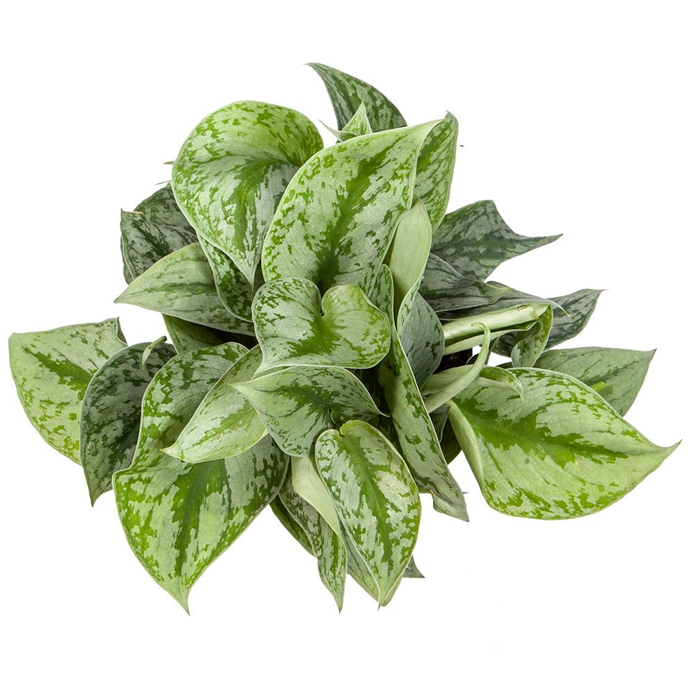 Silver Pothos for Sale