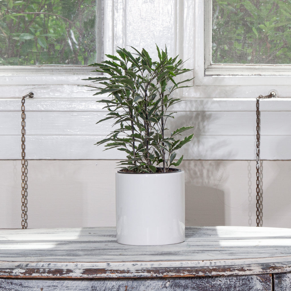 Schefflera for Sale