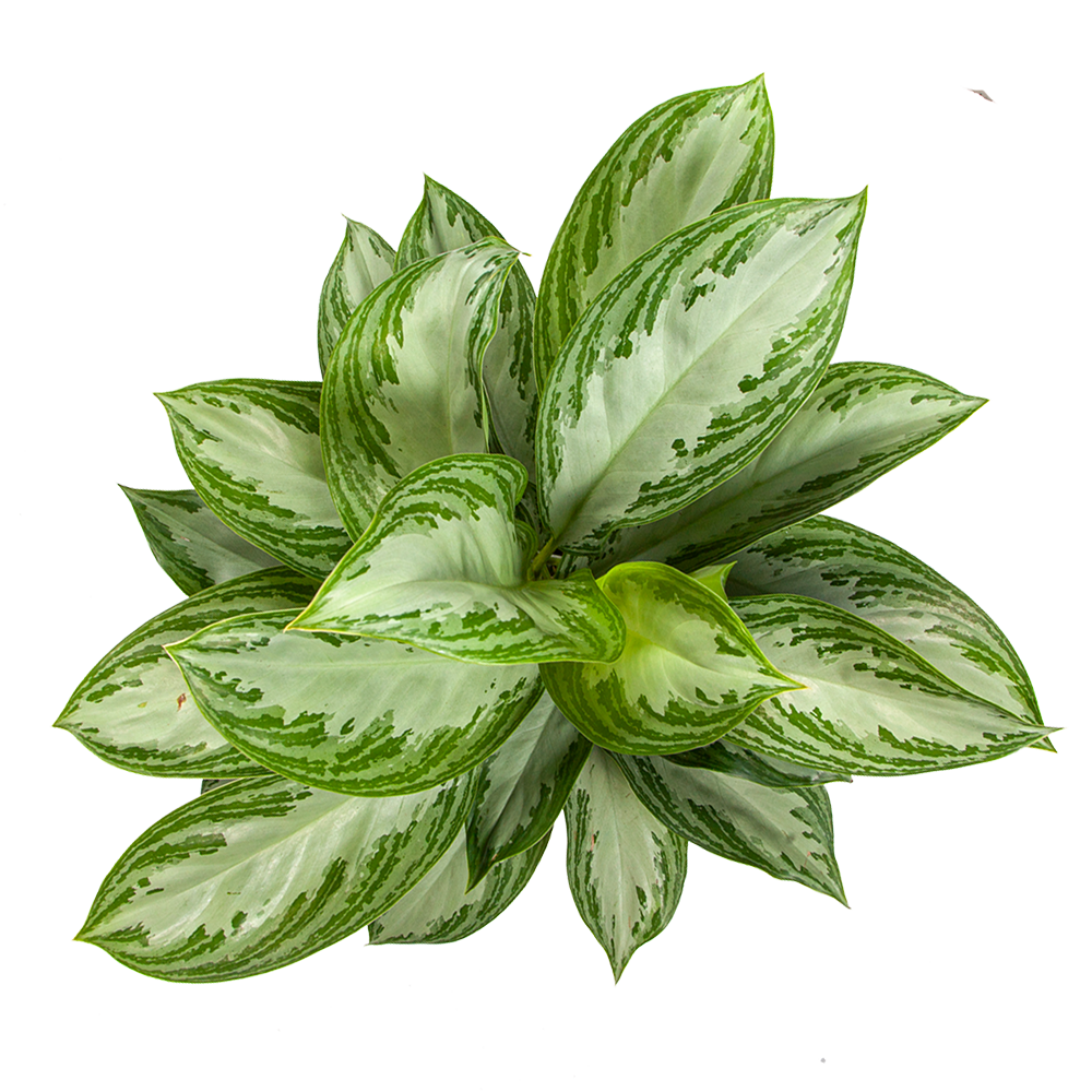 Aglaonema for Sale