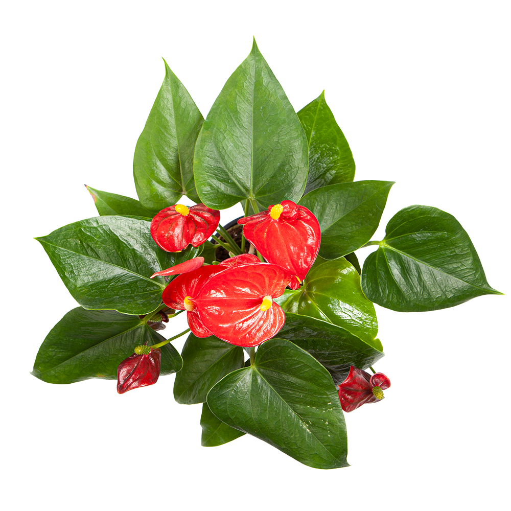 Flowering Anthurium for Sale