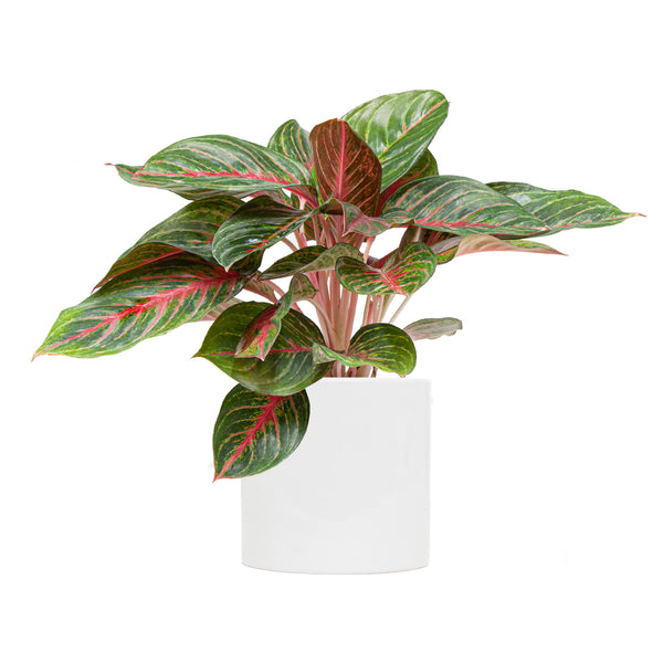 Chinese Evergreen Ruby Red - Large / Cylinder