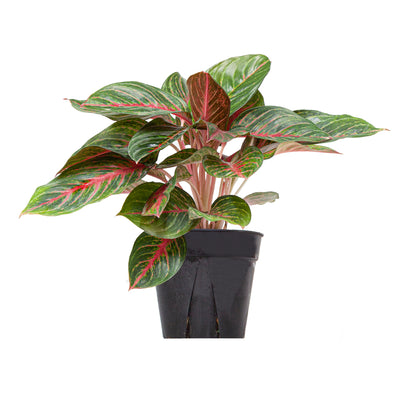 Chinese Evergreen Ruby Red