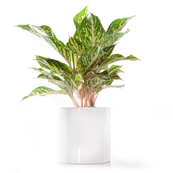 Chinese Evergreen Sparkling Sarah - Large / Cylinder