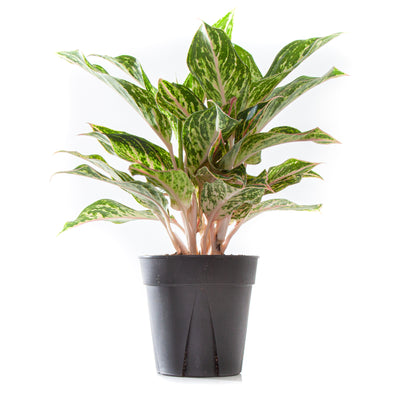 Chinese Evergreen Sparkling Sarah