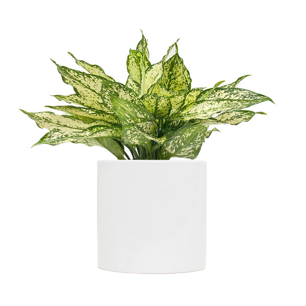 Chinese Evergreen Wintery Winehouse - Large / Cylinder