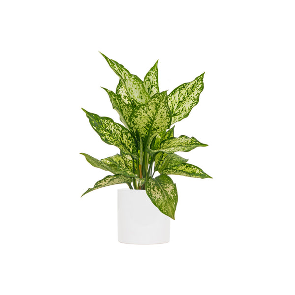 Chinese Evergreen Wintery Winehouse - Small / Cylinder