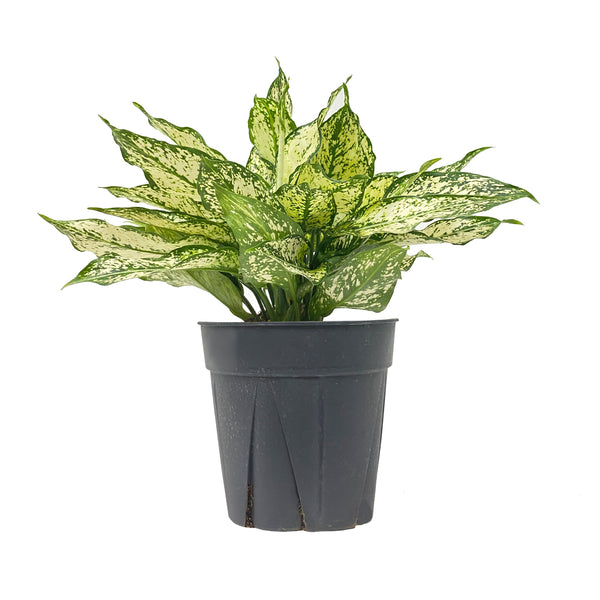 Chinese Evergreen Wintery Winehouse - Large / Grow