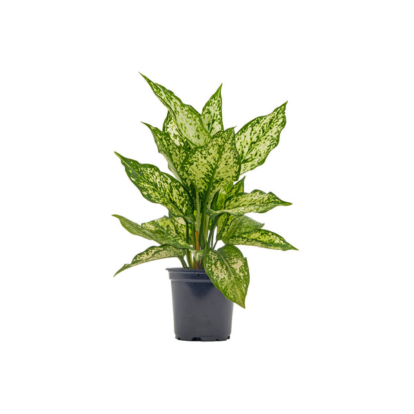 Chinese Evergreen Wintery Winehouse - Small / Grow