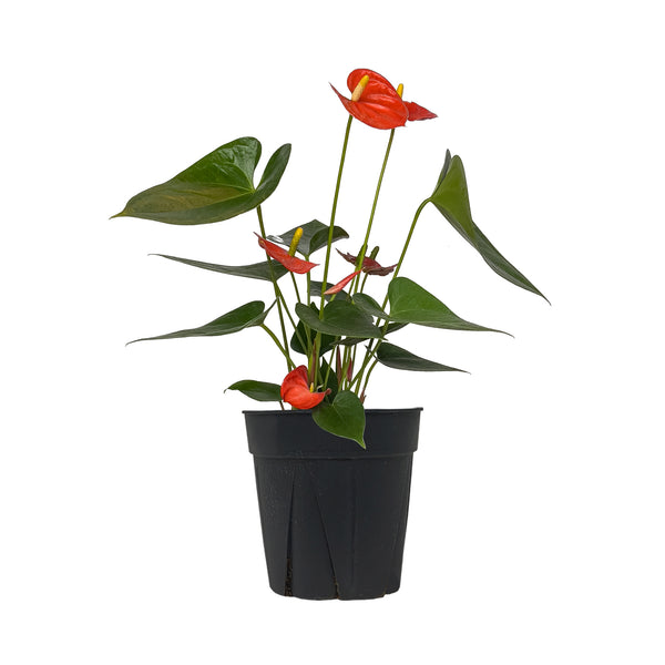 Anthurium Coral - Large / Grow