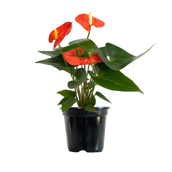 Anthurium Coral - Small / Grow