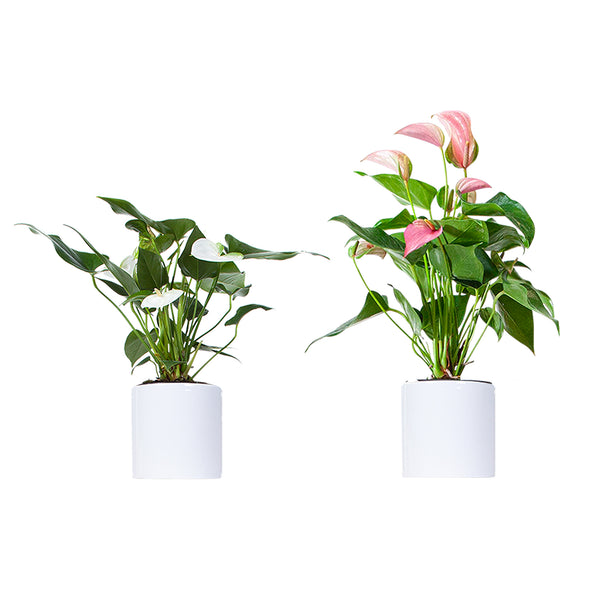 Anthurium Pink & White Plant Bouquet<sup>™</sup> - Small / Cylinder