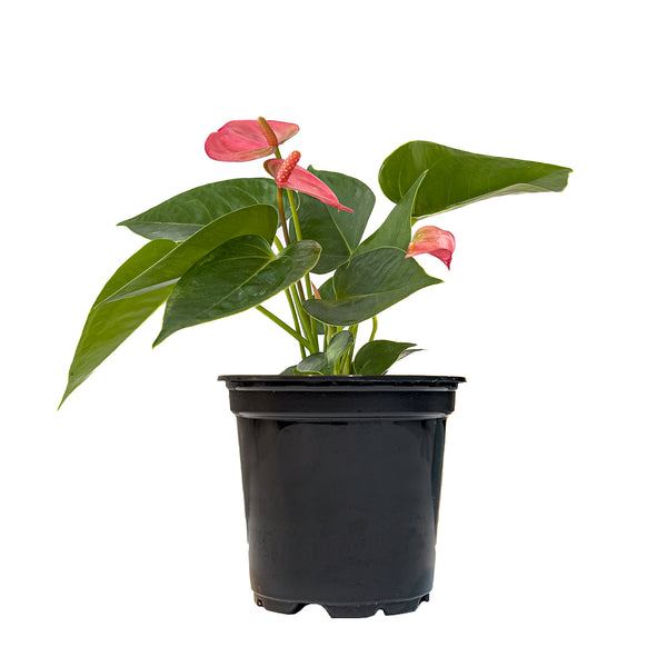 Anthurium Pink - Small / Grow