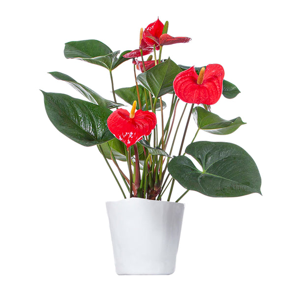 Anthurium Red - Large / Mottled
