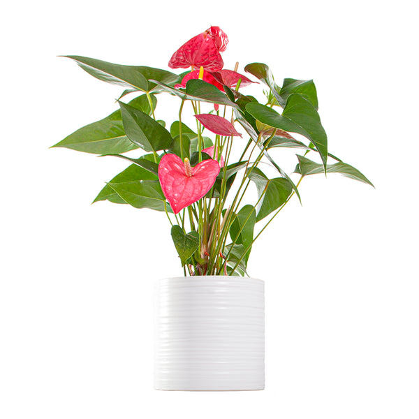 Anthurium Red - Large / Ripple
