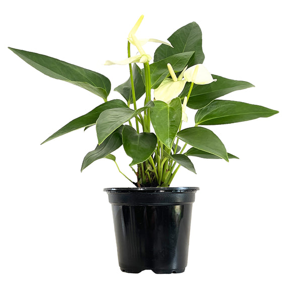 Anthurium White - Small / Grow