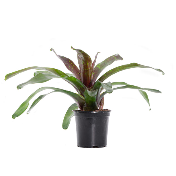 Bromeliad Orcosa - Small / Grow