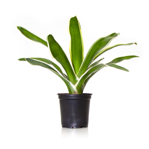 Bromeliad Raphael - Small / Grow