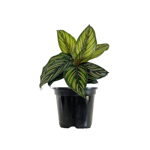 Calathea Beauty Star - Small / Grow