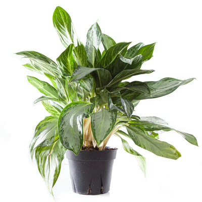 Chinese Evergreen Golden Bay