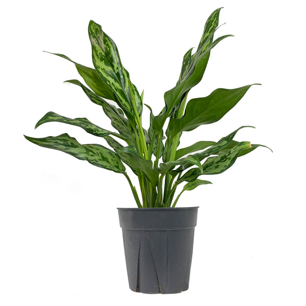 Chinese Evergreen Juliette - Large / Grow