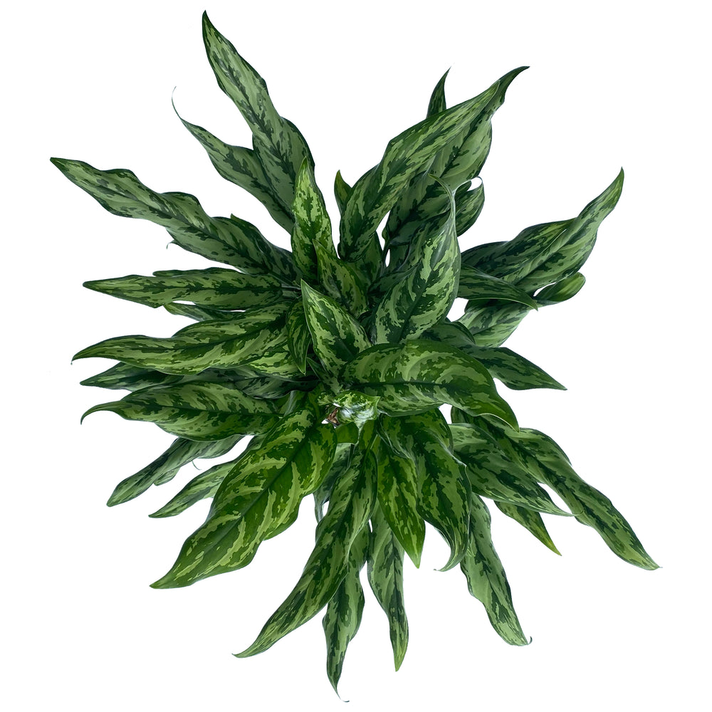 Chinese Evergreen Juliette