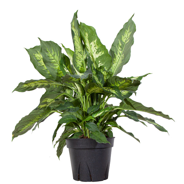 XL Dieffenbachia Splash - Extra Large / Grow