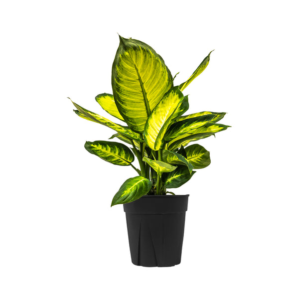 Dieffenbachia Tropic Maryanne - Extra Large / Grow