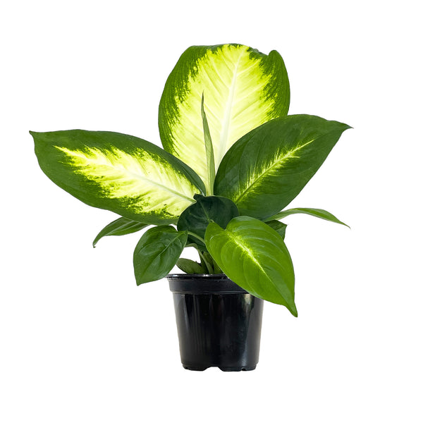 Dieffenbachia Tropic Maryanne - Small / Grow