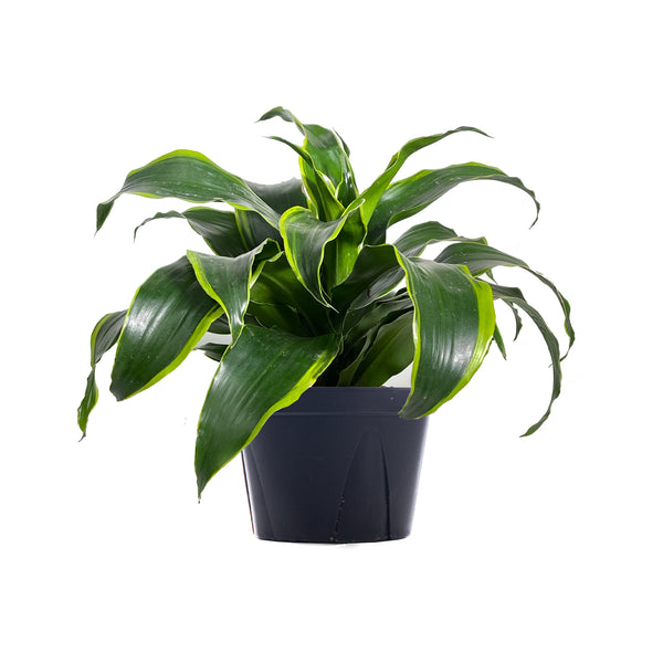Dracaena Dorado - Large / Grow