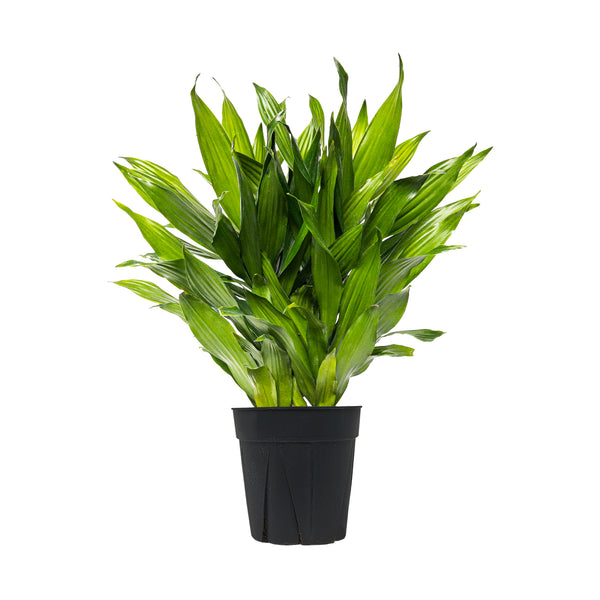 Dracaena Green Jewel - Large / Grow