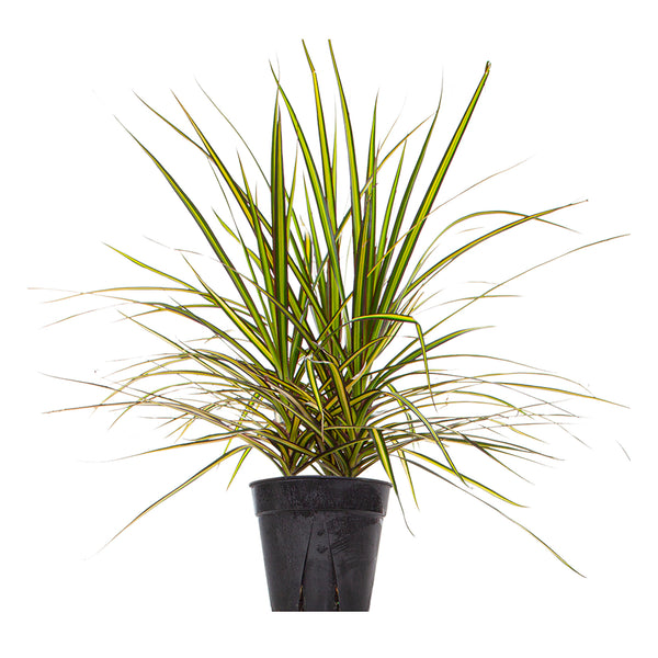 Dracaena Kiwi Tips - Large / Grow