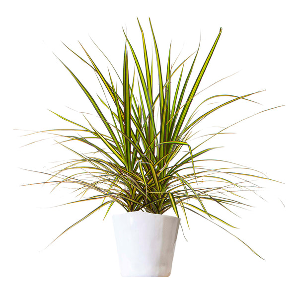 Dracaena Kiwi Tips - Large / Mottled