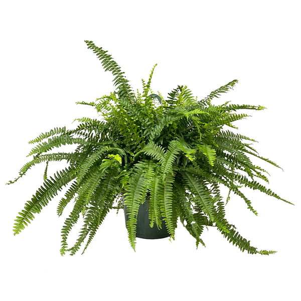 Fern Boston - Fern Boston
