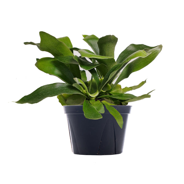 Fern Staghorn - Large / Grow
