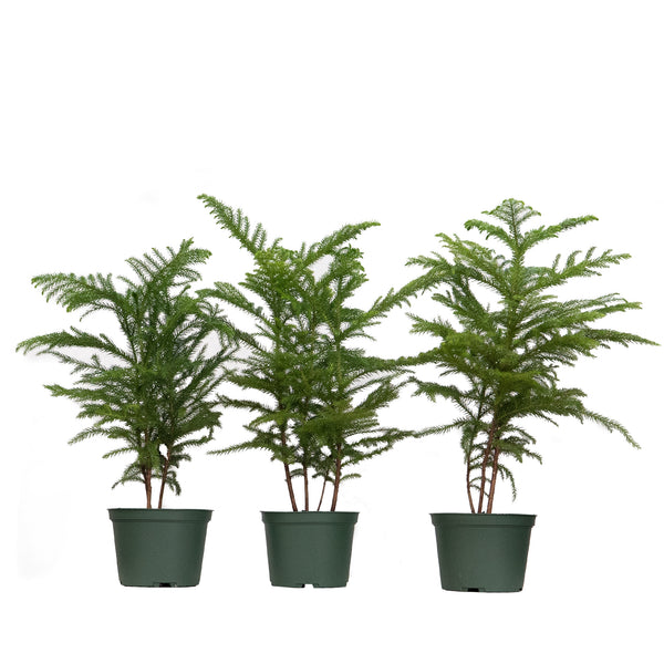 Norfolk Island Pine Trio - Large / Grow