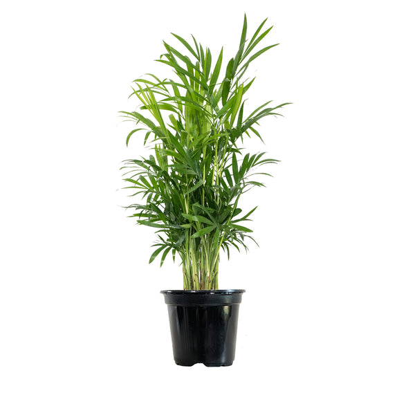 Parlor Palm - Small / Grow