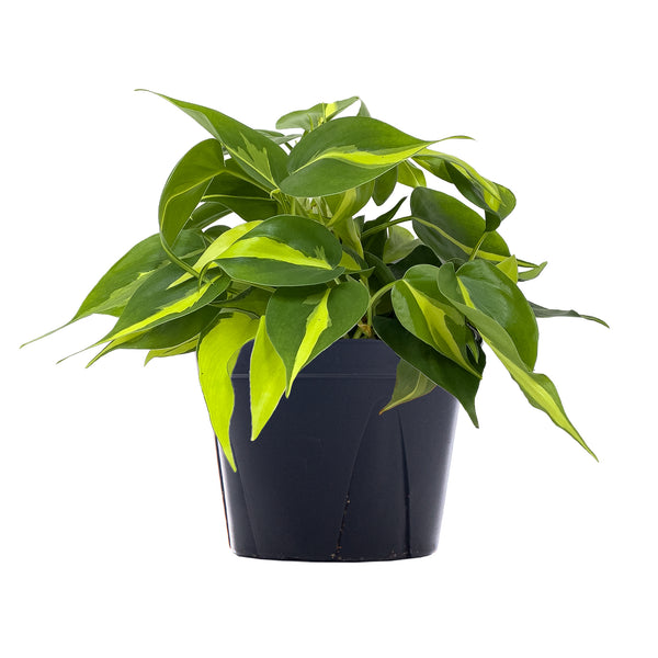 Philodendron Brasil - Large / Grow