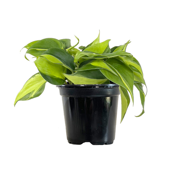 Philodendron Brasil - Small / Grow