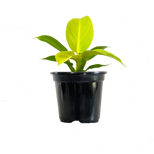 Philodendron Moonlight - Small / Grow